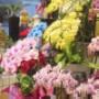 当店HPの写真実物のいろいろな胡蝶蘭