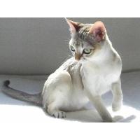 シンガプーラ 猫の庭