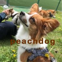 peachdog